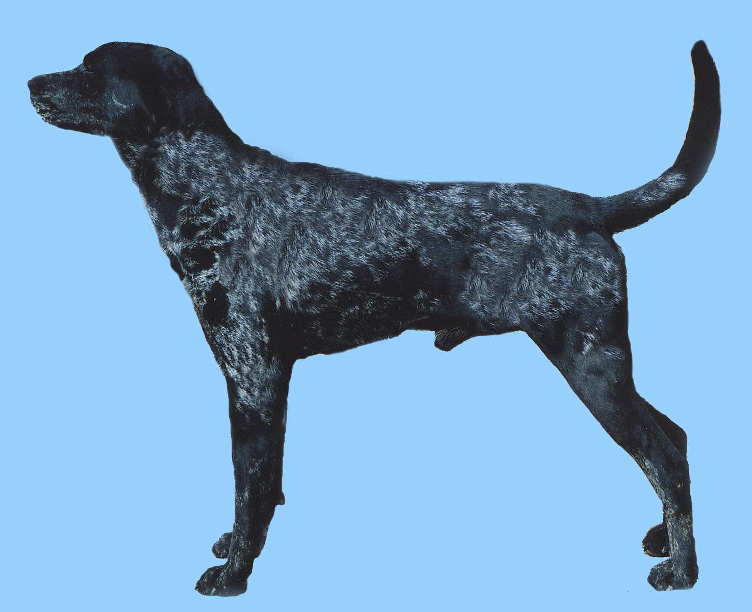 Grooming the American Leopard Hound