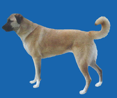 Grooming the Anatolian Shepherd