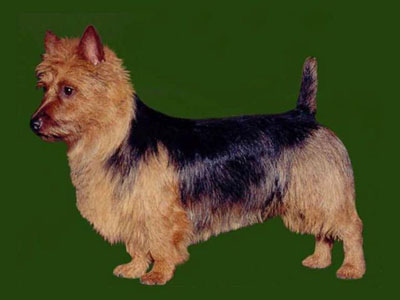 Grooming the Australian Terrier