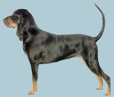 Grooming the Black and Tan Coonhound
