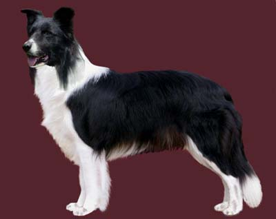 Grooming the Border Collie