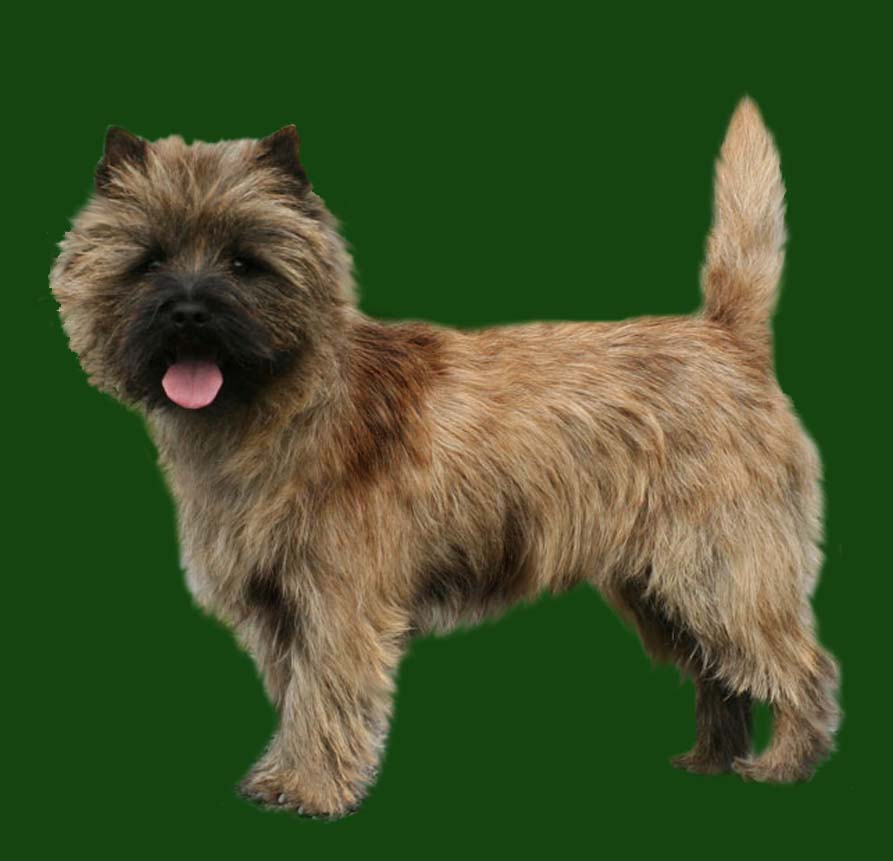 Grooming the Cairn Terrier