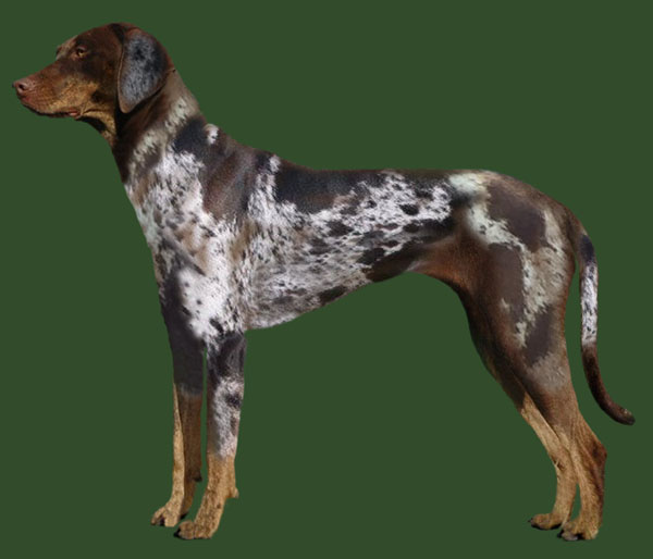 Grooming the Catahoula Leopard Dog