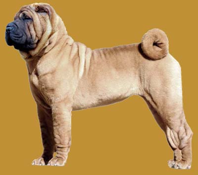Grooming the Chinese Shar-Pei