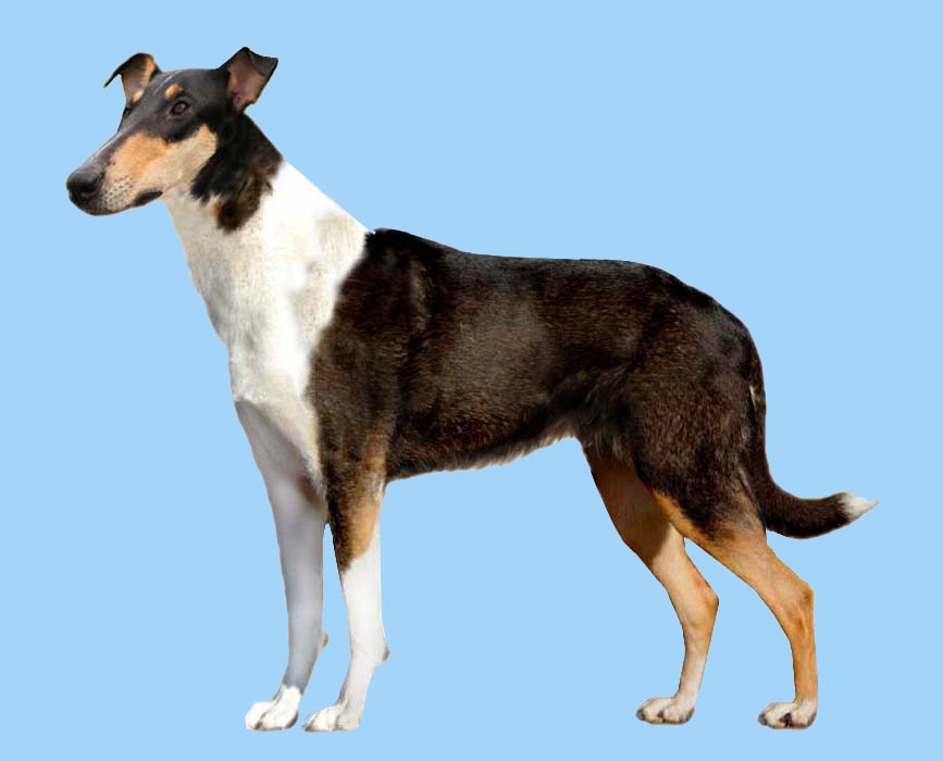 Grooming the Smooth Collie
