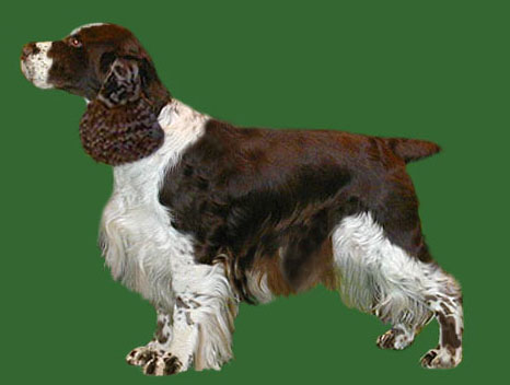 Grooming the English Springer Spaniel