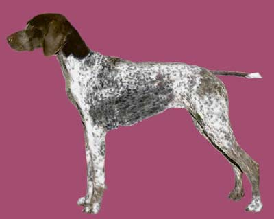 Grooming the German Shorthaired Pointer