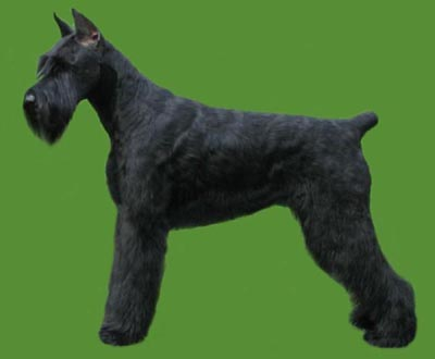 Grooming the Giant Schnauzer