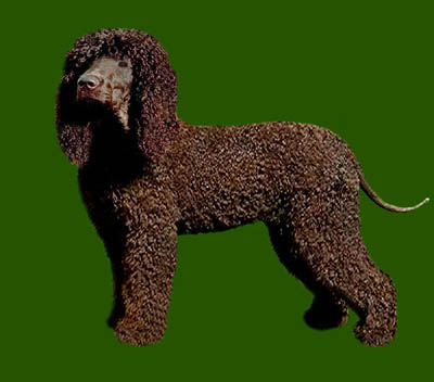 Grooming the Irish Water Spaniel