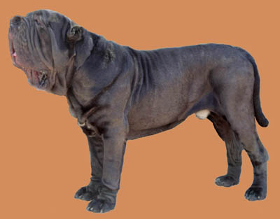 Grooming the Neopolitan Mastiff