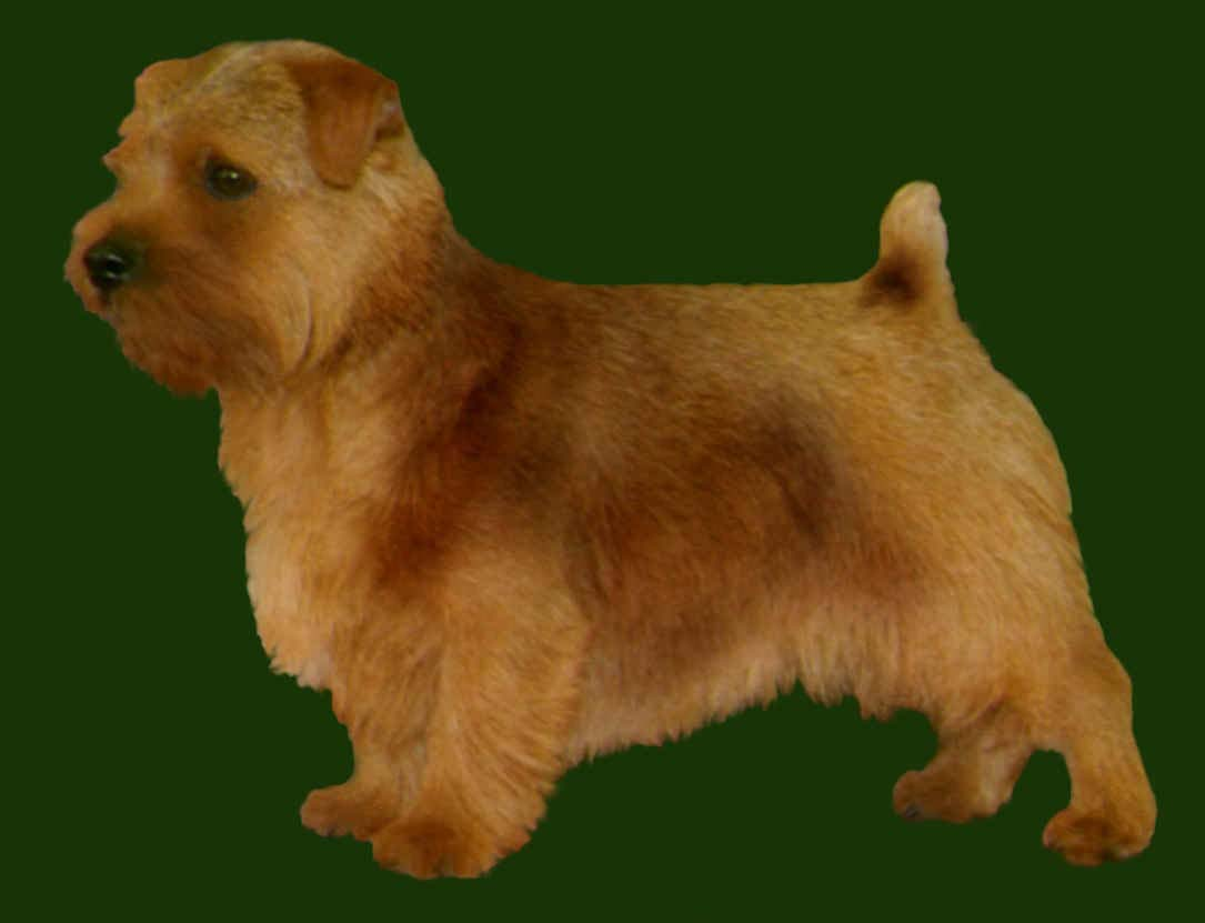 Grooming the Norfolk Terrier