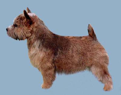 Grooming the Norwich Terrier