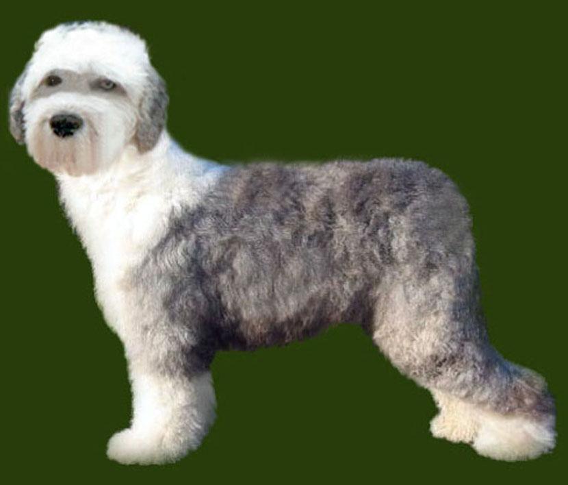 Old English Sheepdog Cruiser Trim Grooming