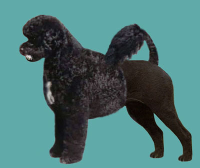 Portuguese Water Dog Lion Trim Grooming