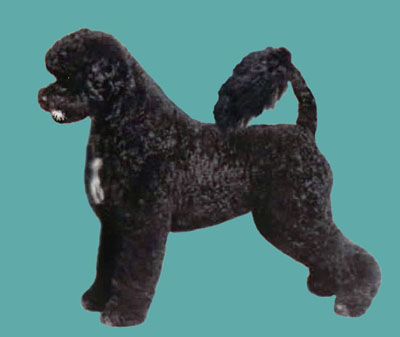 Portuguese Water Dog Retriever Trim Grooming