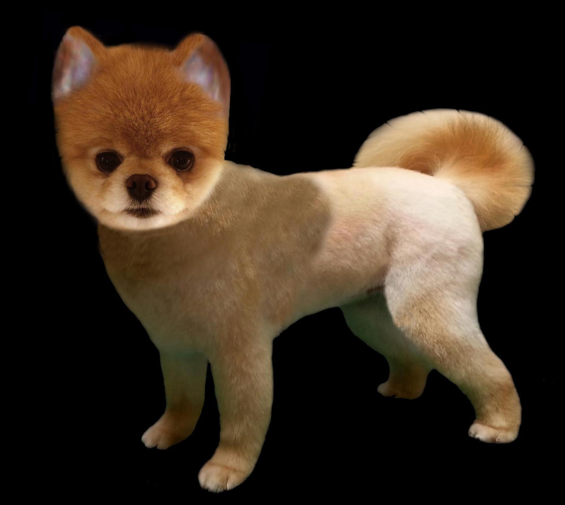 Pomeranian Fox Trim Grooming